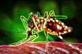 Mosquito Transgénico Aedes Aegypti