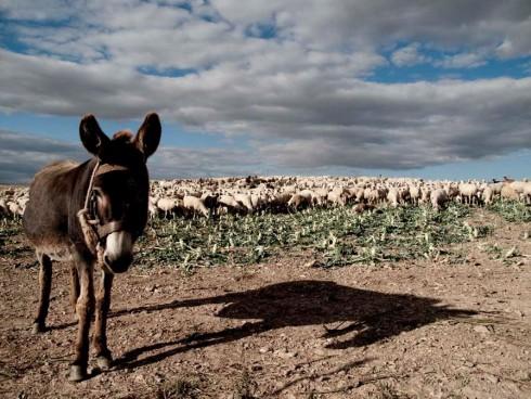 Un burro navarro (2)