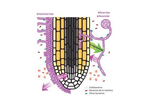 Principales asociaciones de hongos con raíces de plantas. Modificado de: Bonfante et al. 2009 [8]