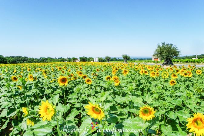 Campos de Girasoles -Aristofennes blog de viajes