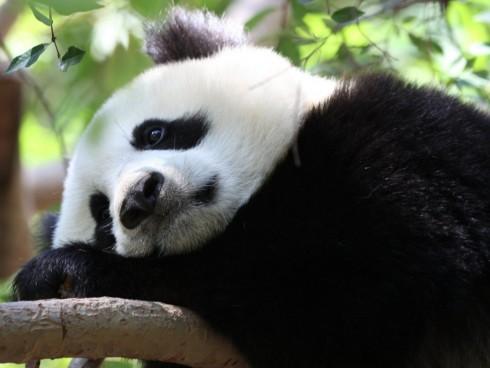 marmotazos-sad-panda