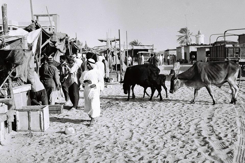 En Abu Dhabi también hubo una calle de las vacas, como en la vieja Barranquilla.
