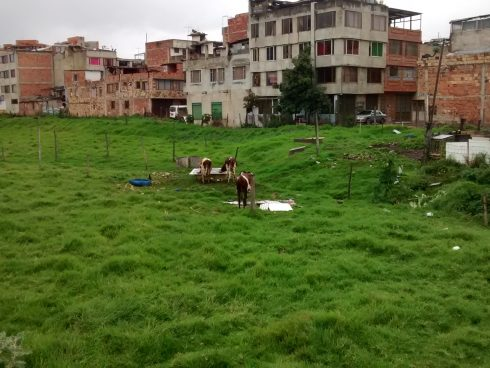 Cattle on Bogotá's northern limits: Bringing a bit of the country to the city.